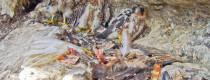 Pollos halcon